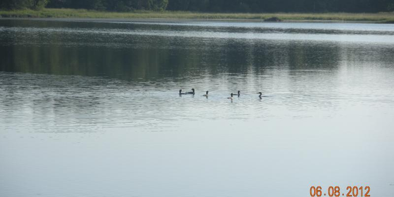 We have a pair of loons that join us each spring.